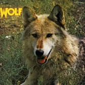 Darryl Way's Wolf2
